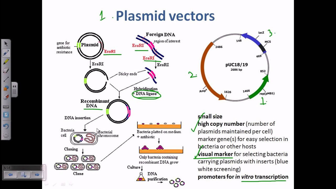 Plasmid As A Cloning Vector Youtube
