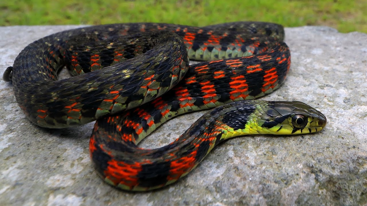 This Snake Is Venomous And Poisonous Herping Japan