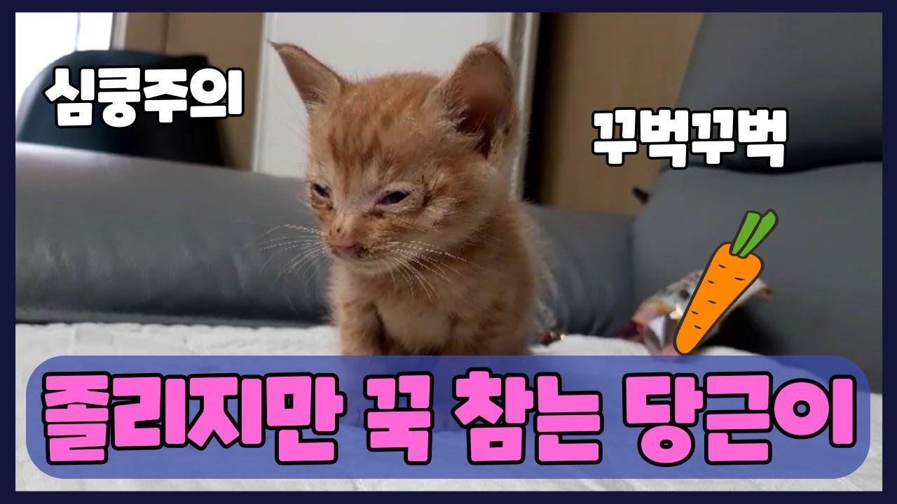 새끼 고양이 잠자는 영상 당근이의 눈을뗄수 없는 귀여움 폭발 영상