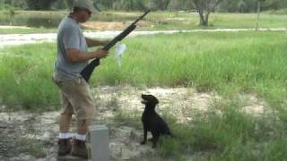 Ranger, Thick Cover - Labrador Retriever Training For Duck Hunting