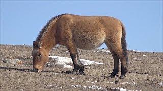 Сохранятся ли дикие лошади Пржевальского в степях Монголии?