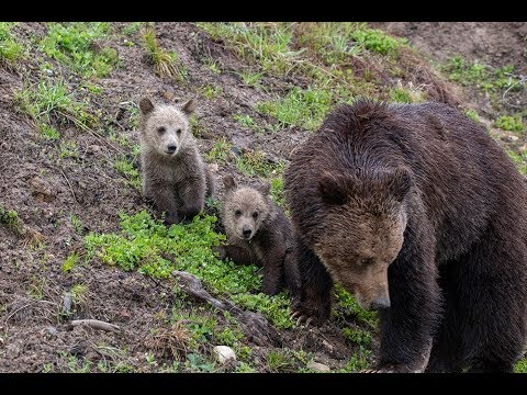 Grizzly and cubs in Yellowstone