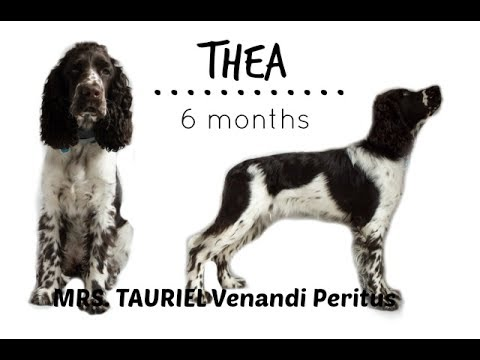 Thea - English Springer Spaniel | 6 months