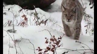 Осторожно - рысь! Дикая кошка в 15 мкр Новоуральска