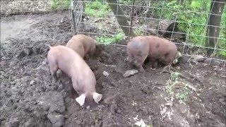 Video THE HOBBY FARM. Happy Pigs. More Space In The Pig Pen.  Adding On. download MP3, 3GP, MP4, WEBM, AVI, FLV November 2017