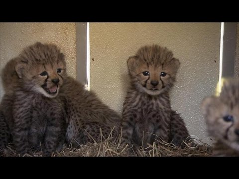 Cheetah baby boom at Smithsonian fueling conservation effort