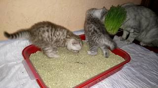 Котята и лоток Первый раз в жизни!