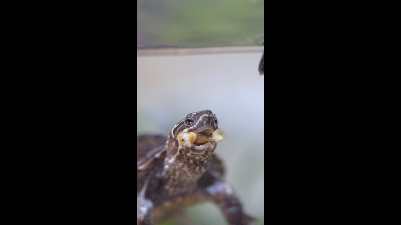 You know your BABY TURTLE is hungry when… #shorts