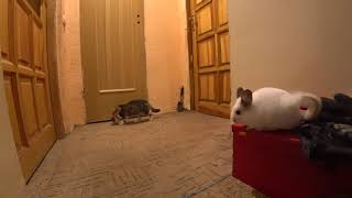 Cat play with chinchilla