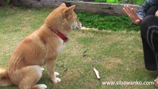 Shiba inu waiting for a bone.