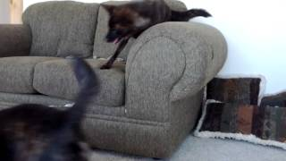 This is a video of Kai Ken (甲斐犬) Nami playing with Yamabushi no ...