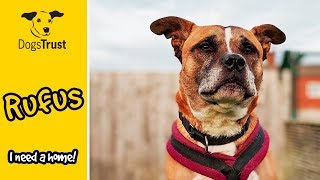 Rufus the Staffordshire Bull Terrier Cross Loves to Explore! | Dogs Trust Loughborough