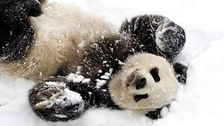 ТОП 5 лучшие видео Панда играет на снегу. TOP 5 Panda and snow.