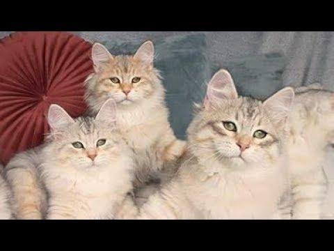 The Beautiful Siberian Cat Compilation