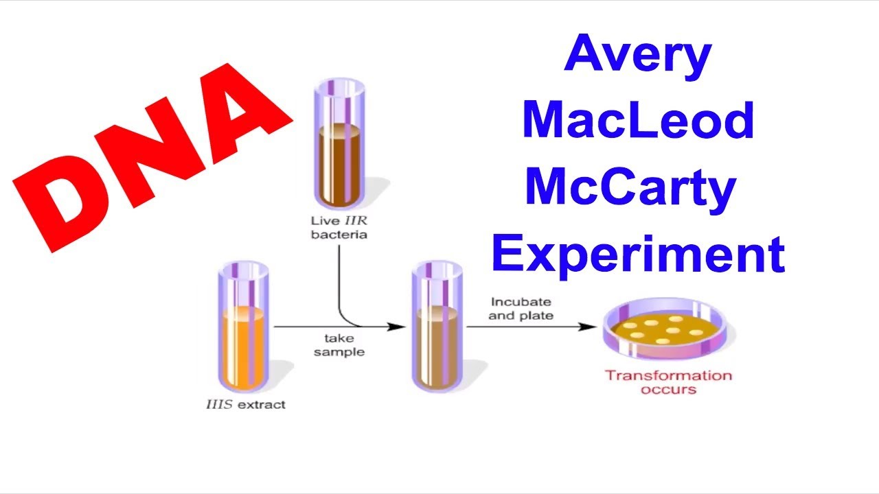 Oswald Avery Colin Macleod And Maclyn Mccarty Experiment