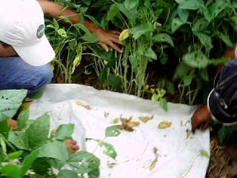 Agronegócio: Controle de pragas: Amostragem de lagartas lavoura de ...