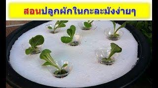 สอนปลูกผักสลัดในกะละมังง่ายๆทำเองที่บ้านได้
