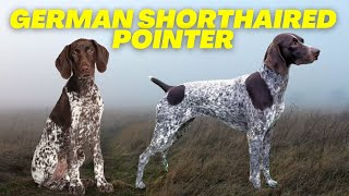 German Shorthaired Pointer  Top 10 FACTS about the BEST hunting dog