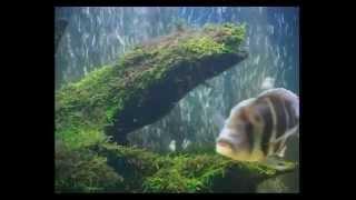 Коряги для аквариума(Один из природный материал для декодирования домашних водоемов - это древесина. Для украшения аквариумов..., 2012-04-29T14:04:47.000Z)