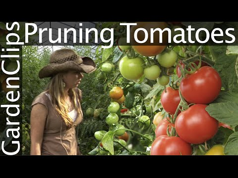 How to Prune Tomatoes - How to Trellis Tomatoes - Pruning and Trellising Tomatoes