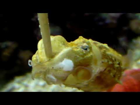 Keeping Adult Sepia Bandensis Dwarf Cuttlefish Part 3 Archival Footage