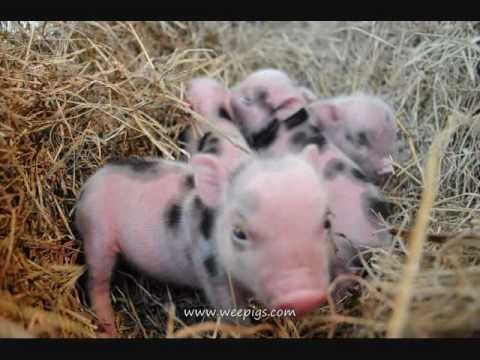 Precious Cute Wee Pig Piglets Are Adorable Little Funny Baby Animals Mini Pigs Farm