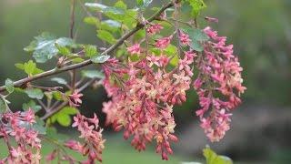 Ribes x gordonianum video