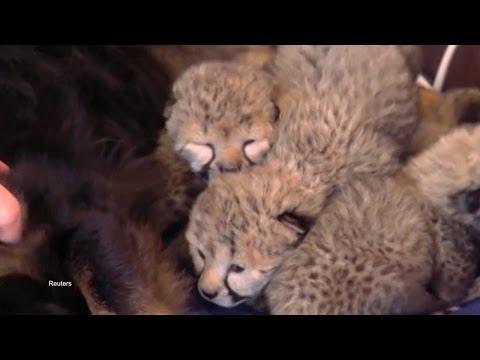Pup Adopts Adorable Cheetah Cubs