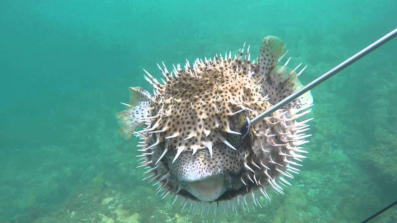Cape verde spearfishing pufferfish youtube for Puffer fish florida