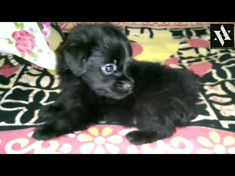 Cute Adorable Black Spitz Puppy || Compilation