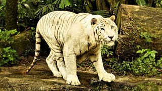Big White Tiger swimming in Singapore Zoo Water