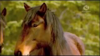 Животные Канады Легендарные обитатели дикой природы Главная самка табуна Самые сильные смелые лошади