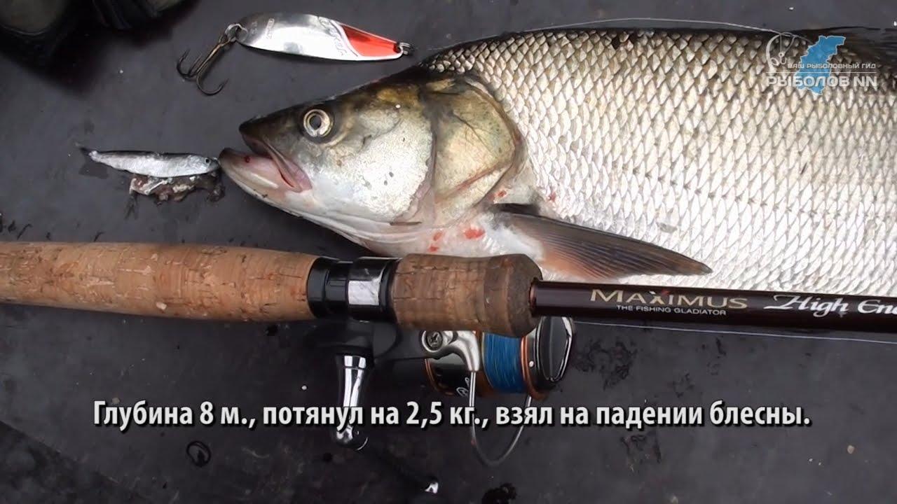 На Волге под Фокино. Рыбалка на спиннинг. Ловим жереха и щуку.