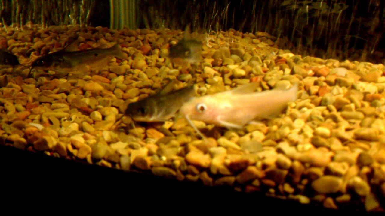 albino channel catfish in aquarium youtube