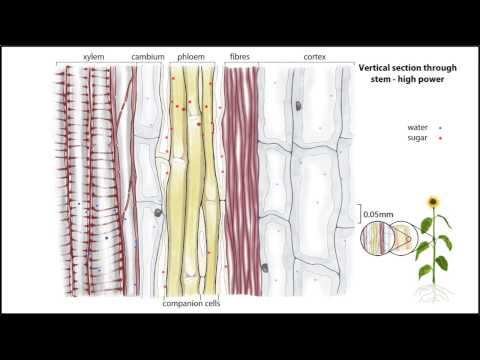 IB Biology: Vascular tissues - introduction