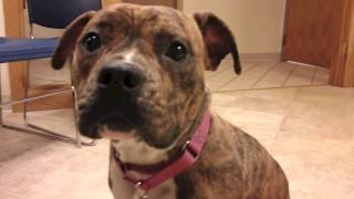 Tiger An English Bulldog:american Pit Bull Terrier Mix Available For Adoption At The Wisconsin Humane Society