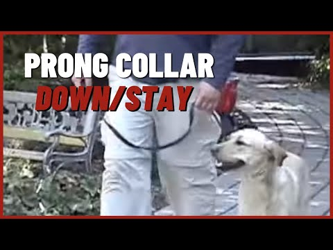 Prong Collar Video #2 Down/stay