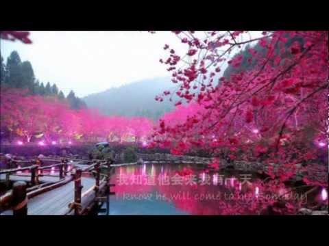 A Cherry Tree waits in China