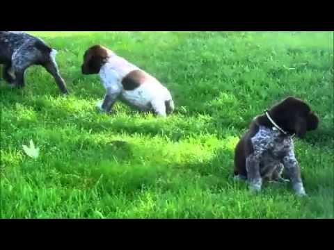 German Pointer Puppies for Sale