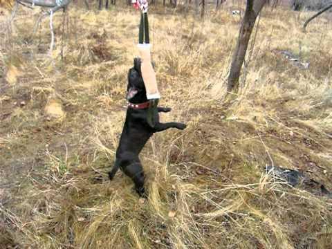 Собака стаффордширский терьер (фото): сильный, умный и