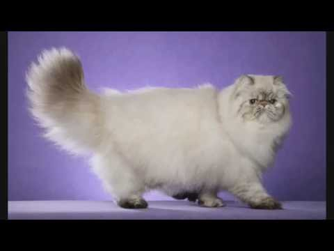 My favorite cat breeds
