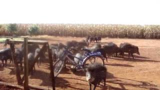 Porco do Mato - Fazenda (Lucas do Rio Verde - MT)