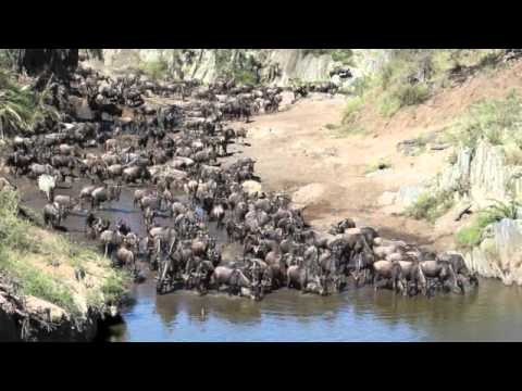 Wildebeest Migration - Serengeti National Park