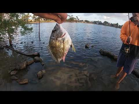 Ep 36 Gold Coast Bream Fishing Bream Bitten In Half