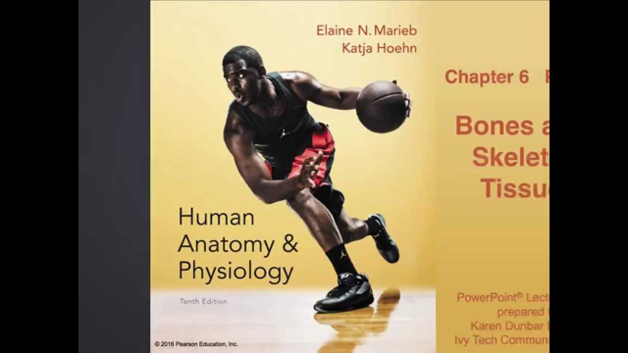 Anatomy And Physiology Chapter 6 Part A Bones And Skeletal Tissue