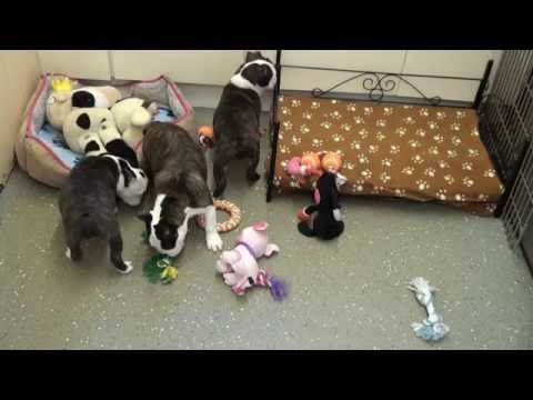 Little Rascals Uk breeders New litter of 3/4 French Bulldog babies - Puppies for Sale 2015