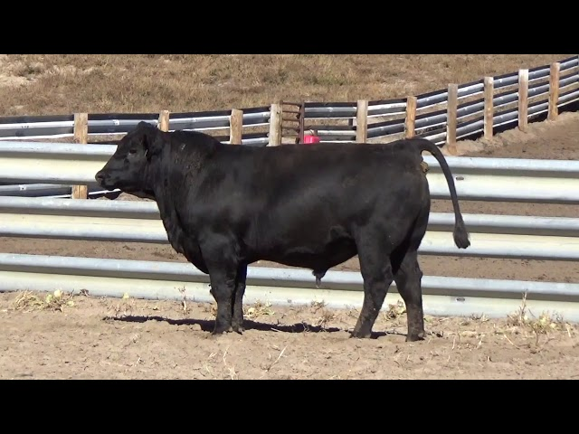 Connealy Angus Lot 12