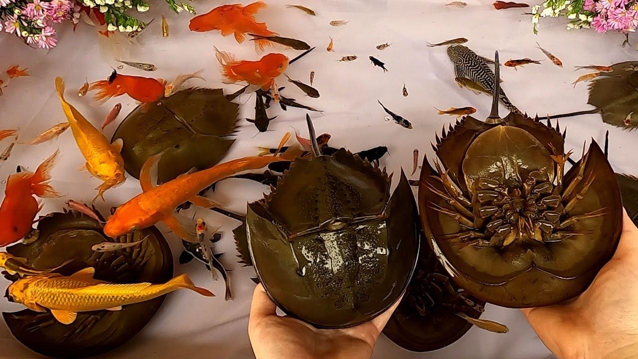 Catfish Tiger Barb Goldfish Horseshoe Crab Halfmoon Betta Fish Pleco Koi Carp Cute animals Videos