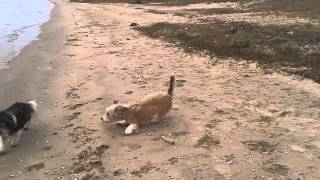 My Greek dog Saartje and Spanish dog Bobby at the beach in Haaften 2014-1-25