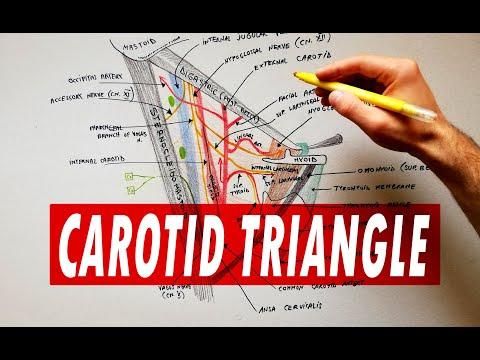 Carotid triangle -